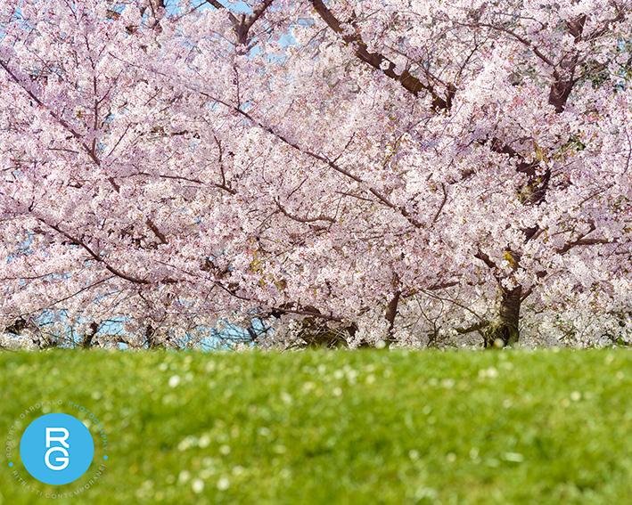 Fotografia ciliegio giapponese in fioritura. Roberta Garofalo photography, Fotografo professionista di Maternità, Neonati, Bambini e Famiglie, Roma